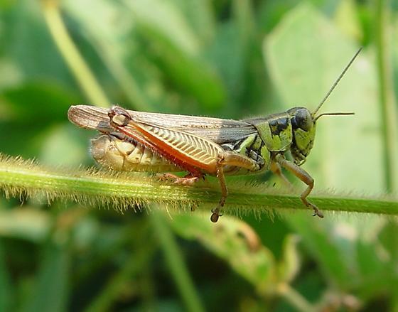 Short-horned Grasshoppers (Acrididae) - Melanoplus femurrubrum