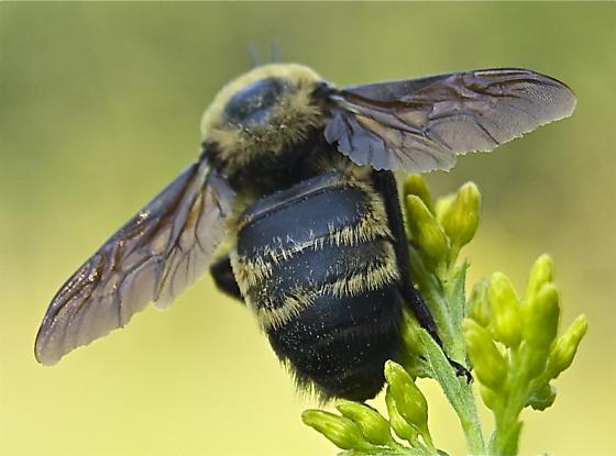 huge bee - Bombus auricomus - male