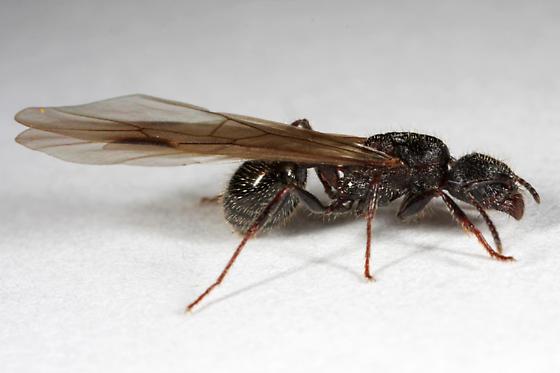 Winged Ant - Veromessor andrei