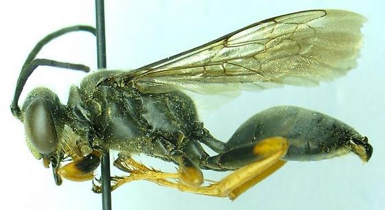 Wasp - Sphex nudus - male