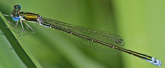Sedge Sprite - Nehalennia irene - male