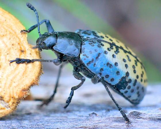 Beetle ~14mm, Gibbifer californicus? - Gibbifer californicus