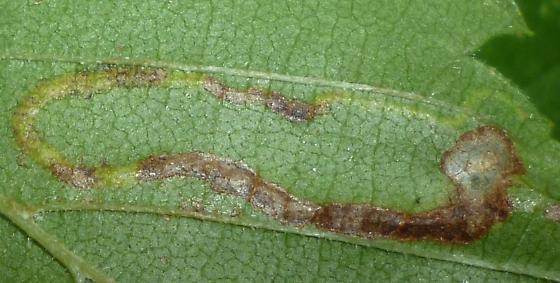 Ulmus host - Sgimella apicialbella? - Agromyza aristata