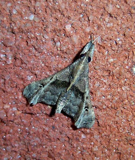 Small Stealth Bomber moth - Palthis asopialis