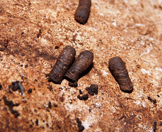 Unknown pupae - Coleothorpa dominicana