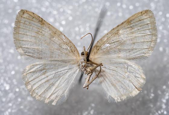 Cabera erythemaria - female