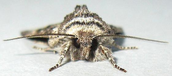 Owlet Moth - Brachylomia sierra