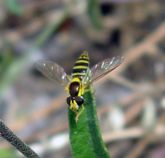 Syrphidae 9-09-09 01 - Sphaerophoria
