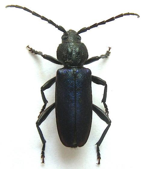 Longhorned Beetle - Semanotus amethystinus