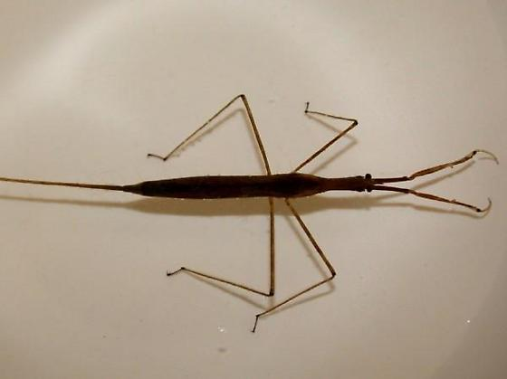 Unknown Ranatra (Hemiptera: Nepidae) - Ranatra quadridentata