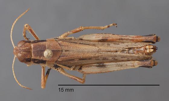 Acrididae 4 - Melanoplus