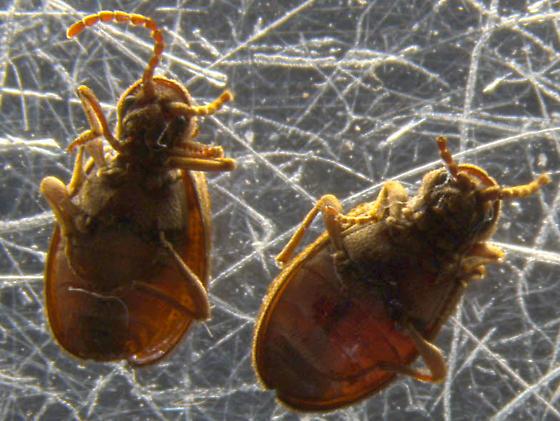 Found under a bed. - Ptinus tectus