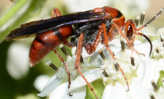 Small Red Wasp - Tachypompilus ferrugineus