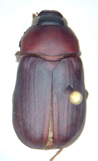 Phyllophaga prununculina - male
