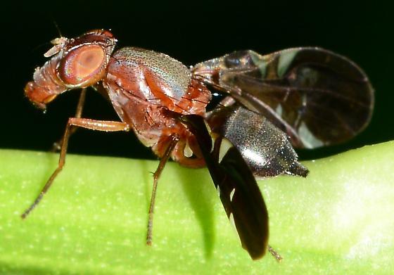 Fly - Delphinia picta - female