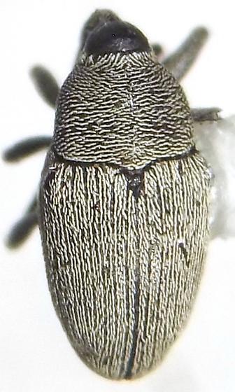 Linogeraeus tonsilis (Boheman) - Linogeraeus tonsilis
