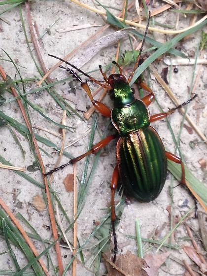 Green metallic beetle - Carabus auratus