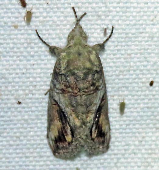 unknown 2 - Schizura unicornis