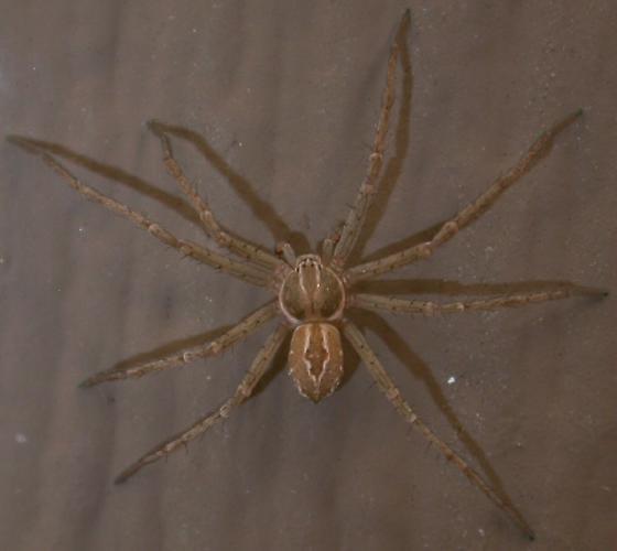 Thanatus vulgaris - male
