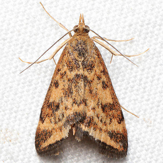 Pyrausta insequalis - Pyrausta subsequalis