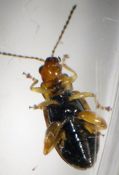 leaf beetle - Systena blanda