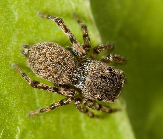 Sitticus concolor - female