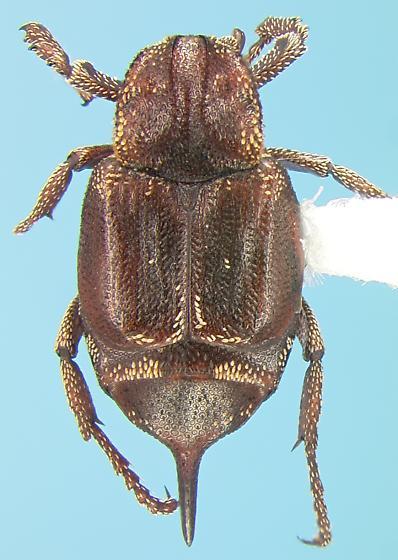 Scarab - Valgus canaliculatus - female