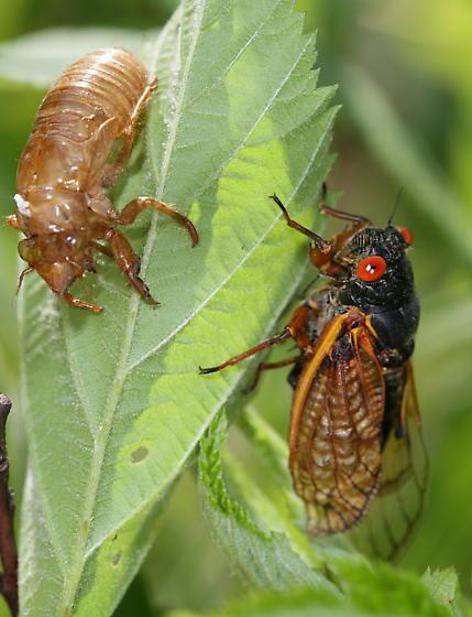 Brood XIX Periodical Cicada 2011 - Magicicada tredecassini