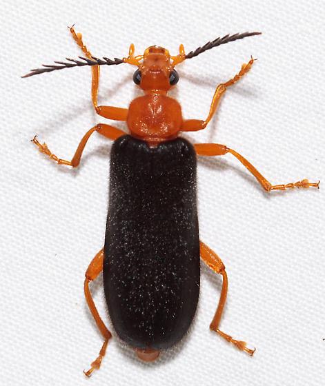 Neopyrochroa flabellata