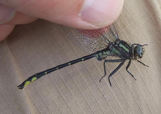 Rapids Clubtail - Phanogomphus quadricolor - male
