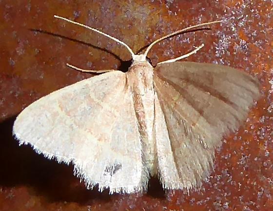 Chlorchlamys appellaria?  - Chlorochlamys appellaria - female