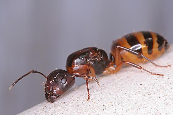 Camponotus - Camponotus subbarbatus - female