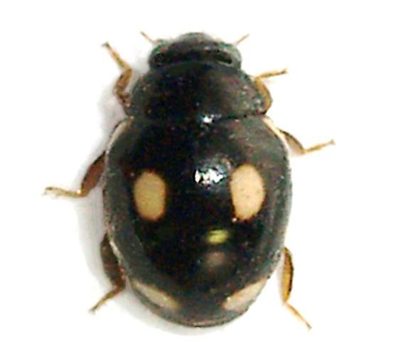 little lb - Hyperaspis - female
