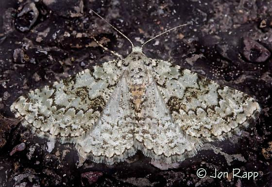 Moth - Tracheops bolteri