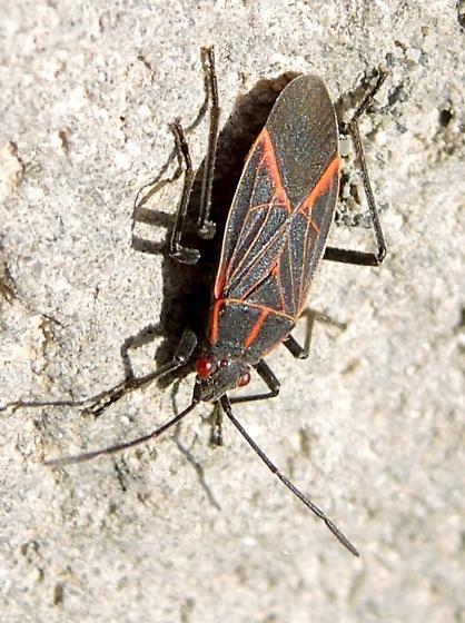 Red-eyed Bug - Boisea rubrolineata