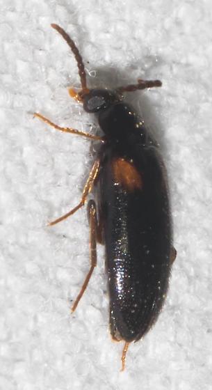 Orange-shouldered black beetle - Mycetochara