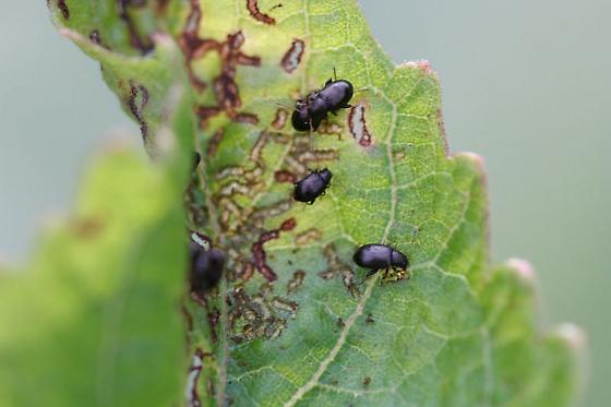 Destructive little guys - Chaetocnema quadricollis