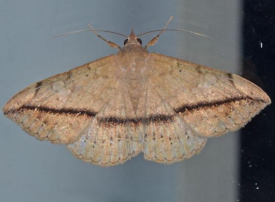 Moth - Anticarsia gemmatalis