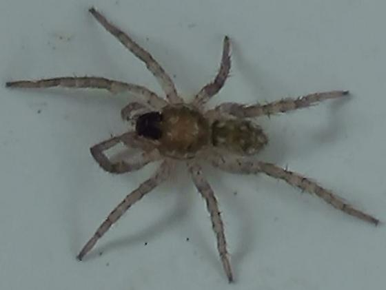 Baby Wolf Spider - Long & Thin - Arctosa littoralis