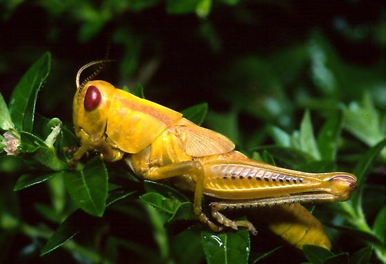 Yellow Grasshopper - Melanoplus differentialis - female
