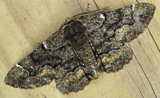 Another Biston betularia? - Phaeoura quernaria - male