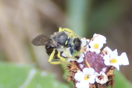 Calliopsis Bee, male  - Calliopsis - male