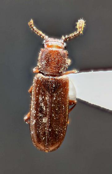 Cucujidae - Flat Bark Beetles ? - Pediacus andrewsi