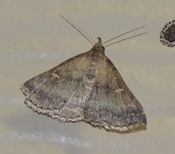 Tetanolita floridana or mynesalis? - Tetanolita floridana