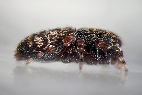 Attidops cutleri - side - Attidops cutleri - female
