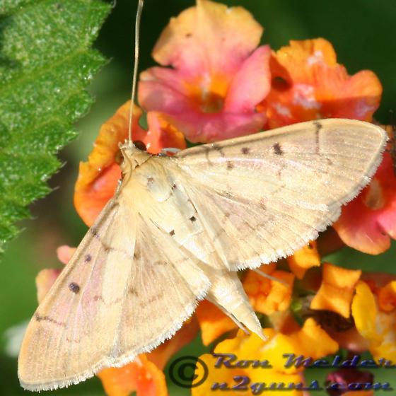Moth 01 - Herpetogramma bipunctalis