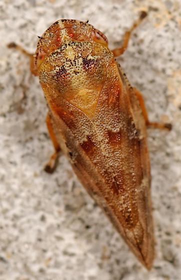 spittlebug - Aphrophora saratogensis