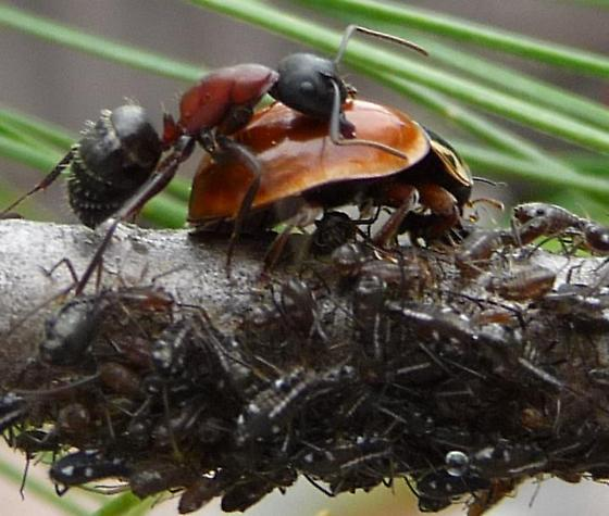 Camponotus novaeboracensis - female