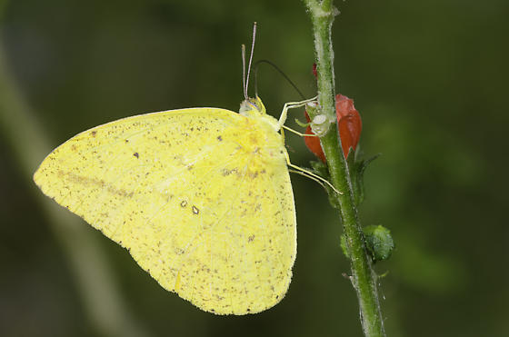 Large Orange Sulphur - Phoebis agarithe - male