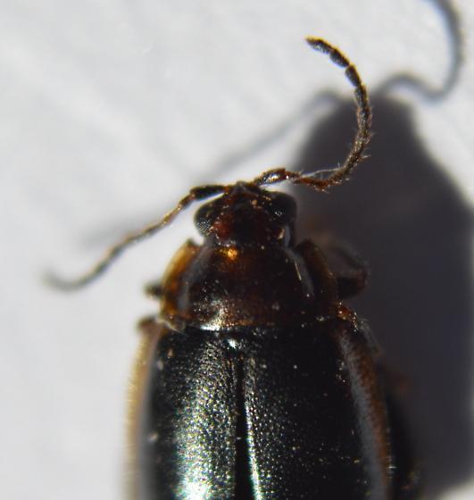 Flea Beetle - Capraita obsidiana
